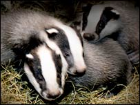Badgers  (Andrew Cooper)