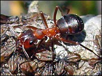 Narrow-headed wood ant. (Pic: Tim Ransom)