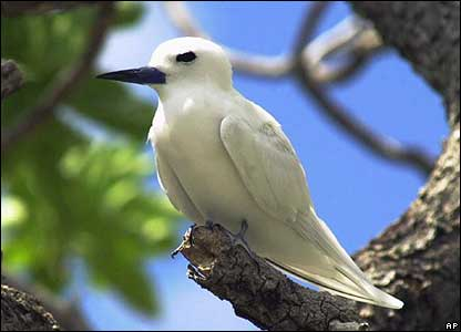 A fairy tern on Millennium Island in Kiribati