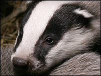 Badger cub (Andrew Cooper)