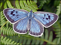 Large Blue butterfly (Image: Dave Simcox)