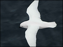 Snow petrel (BBC)