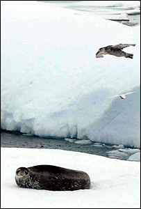 Skua and seal (BBC)