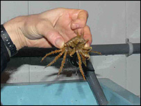 An Antarctic sea-spider (BBC)