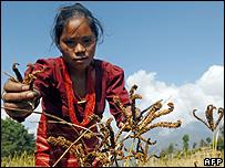 Woman harvesting millet (Image: AFP)