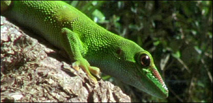 Day gecko (BBC)