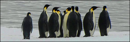 Emperor penguins (BBC)