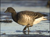 Light bellied brent goose (picture R Taylor-Jones)