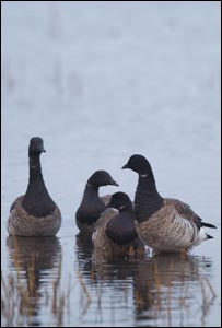 Light bellied brent geese (picture R Taylor-Jones)
