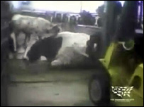 A cow is prodded by a forklift truck at Westland/Hallmark Meat Co (Video: Humane Society of the United States)