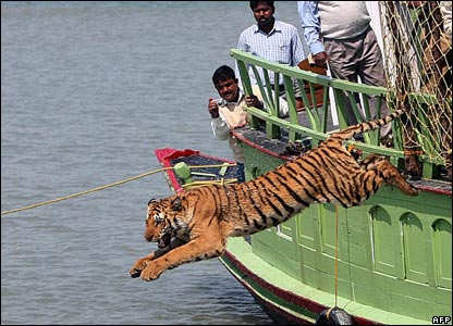 A rescued tiger leaps from a boat on the river Sundarikati, India (19/02/2008)