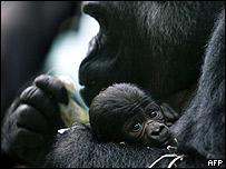 La gorila Shiny con su bebé Artis en el zoológico de Ámsterdam