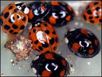 Harlequin ladybird. (Pic: Francis Rowland)