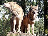 European wolves (Image: Gunnar Ries)