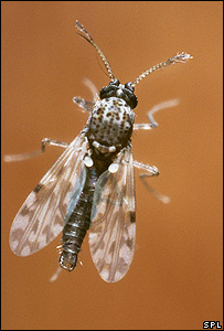 A midge <i>(Culicoides variipennis)</i> (Image: Science Photo Library)