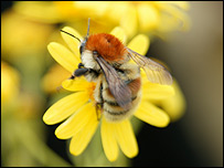 Brown-banded carder bee (Copyright Sam Ashfield)