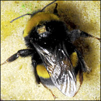 Tagged bee (Dr Josef Timar)
