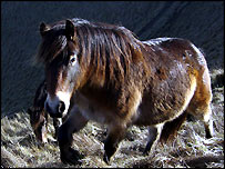 Wild Exmoor pony in Sussex [pic: Sussex Pony Grazing and Conservation Trust]