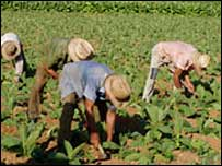 Farm workers in Cuba