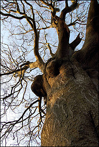 English oak (Image: BBC)
