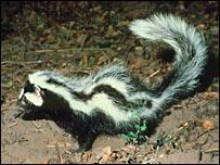 Zorrillo (Ictonyx striatus)