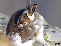 Mountain hare (SPL)