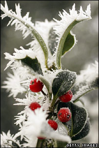 Holly with frost. Image: Getty