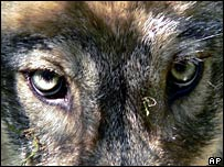 A close-up of a wolf