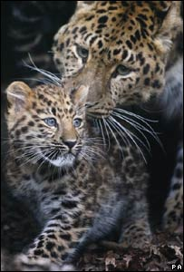 Ascha the Amur Leopard with her three-month-old unnamed cub at Marwell Zoo