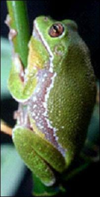 Paradoxical frog