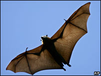 Flying fox, file image