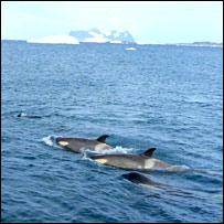 Orcas. Image: BBC