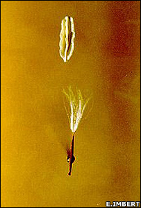 Weed non-dispersing (top) and dispersing (bottom) seed (Image: Eric Imbert)