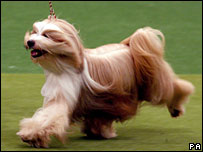 Tibetan terrier Willy, named Best in Show at Crufts 2007