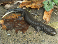 Great crested newt (picture: Powys Council)