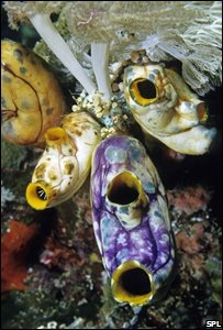 Tunicates (ANDREW J. MARTINEZ / SCIENCE PHOTO LIBRARY)