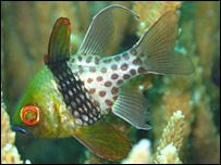 Cardinalfish (Pic: Steve Simpson)