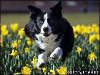 Working Sheep Dog, seven-year-old Twig, performs at Crufts 2008