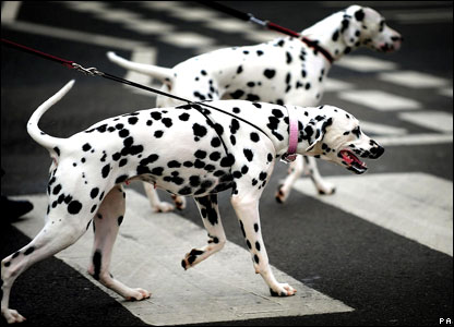 Two Dalmatians arrive at the Crufts dog show