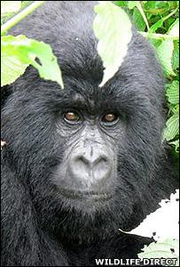 Silverback gorilla (Image: WildlifeDirect)
