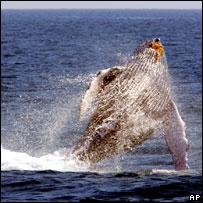 Humpback whale. Image: AP