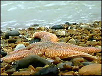 Starfish on Sandwich beach