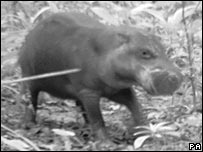 Photo of pygmy hippo taken in Liberia by Zoological Society of London