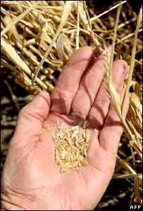 A hand holds a few grains of wheat
