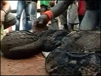 A Pangolin (scaly anteater) and snakes in Yaounde, Cameroon