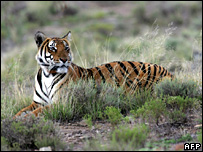 A South China Tiger called Cathay is pictured in the Laohu Valley Reserve in the Free State province, South Africa