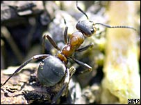 A wood ant is seen above a globule of resin