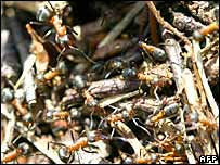 Industrious wood ants on a nest