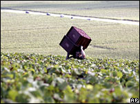 Grape-picker in Champagne region, France