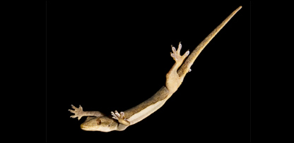 Gecko (Robert Full/UC Berkeley/PNAS)